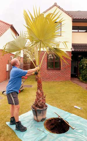 'Silver Service' palm planting ~ Tropical Landscapes