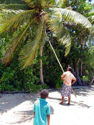 Fiji Picking Coconut Palm007