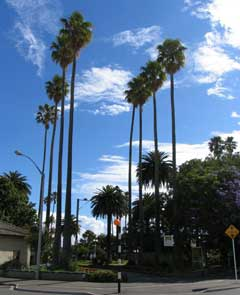 New Zealand Cotton Palms015