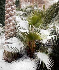 Palm trees in the snow, Essex, February 2006.